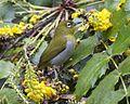 Ceylon White-eye ( Zosterops ceylonensis) 690V9439 - Flickr - Lip Kee.jpg