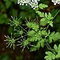 Chaerophyllum temulum inflorescence (27).jpg