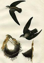 Chaetura pelagica (Audubon).jpg