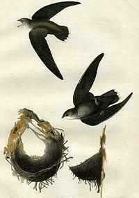 Chaetura pelagica (Audubon)