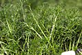 Chamaemelum nobile 1zz.jpg