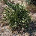 Chamaerops humilis g1.jpg