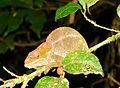 Chameleon, Ranomafana National Park (3953716484).jpg