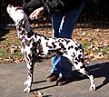Champion liver spotted dalmatian.jpg