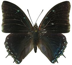Charaxes virilis male.jpg
