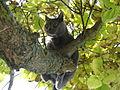 Chartreux cat on tree - Kartäuser Katze auf Baum.jpg