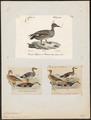 Chaulelasmus strepera - 1700-1880 - Print - Iconographia Zoologica - Special Collections University of Amsterdam - UBA01 IZ17600467.tif