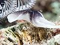 Chelidonura amoena (31004435847).jpg