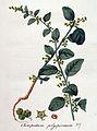 Chenopodium polyspermum — Flora Batava — Volume v4.jpg