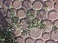 Chenopodium vulvaria sl2.jpg