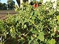 Chenopodium vulvaria sl27.jpg