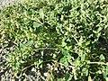 Chenopodium vulvaria sl81.jpg