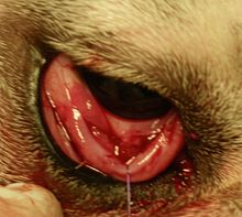 Dog Third Eyelid Showing Shrunken Eye