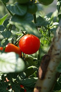 Cherry Tomato on Vine.JPG