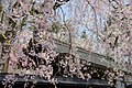Cherry Trees in Kakunodate - panoramio.jpg