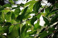 Cherry leaves (15081461492).jpg