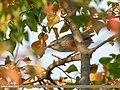 Chestnut-tailed Starling (Sturnia malabarica) (34932520155).jpg