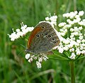 Chestnut Heath. Coenonympha glyceron. - Flickr - gailhampshire (1).jpg