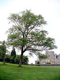 Chinese cork oak