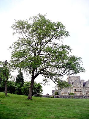 Quercus variabilis - Chinese cork oak planted at Tortworth Court, England