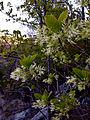 Chionanthus virginicus - Fringe Tree.jpg