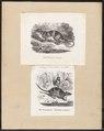 Chironectes variegatus - 1700-1880 - Print - Iconographia Zoologica - Special Collections University of Amsterdam - UBA01 IZ20300138.tif