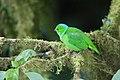 Chlorophonia callophrys 02.jpg