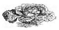 Chou pancalier petit hâtif de Joulin Vilmorin-Andrieux 1883.png