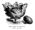 Chou rouge de Saint-Leu Vilmorin-Andrieux 1904.png