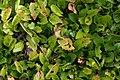 Chrysogonum virginianum Allen Bush 2zz.jpg