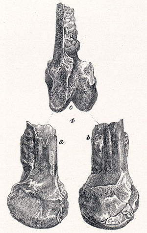Cimoliornis - Holotype
