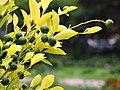 Citrus x microcarpa Kalamondin 2018-09-02 02.jpg