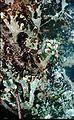 Cladonia grayi-9.jpg