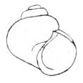 Clappia umbilicata shell.png