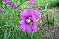Clarkia pulchella flower.jpg