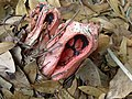 Clathrus columnatus two.jpeg