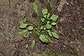 Claytonia perfoliata 6642.JPG