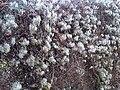 Clematis vitalba fruits - Kew Gardens 4.jpg