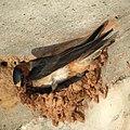 Cliff Swallow building a nest (4737045414).jpg
