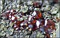 ClinochloreEtGrenatItaliePreovenanceAlaRefMGL35323 MuséumHistoireNaturelleLille GLAM2016 PhotoLamiot 118.jpg
