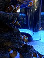Clownfish in Two Oceans Aquarium, Capetown- - 2.jpg