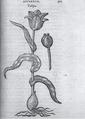 Clusius rariorum.tif