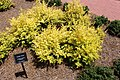 Coastal Georgia Botanical Gardens, Golden Pivet Ligustrum sinense 'Sunshine'.jpg