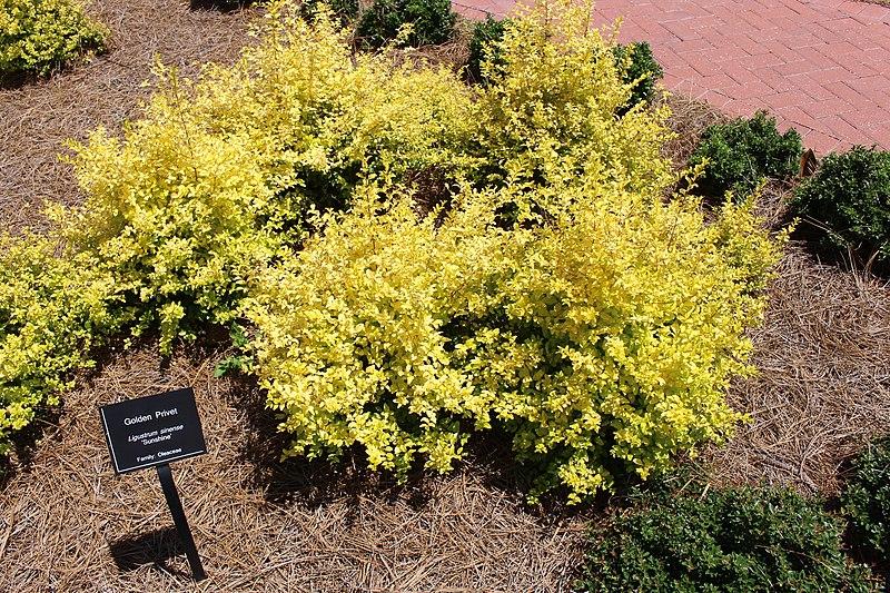 File Coastal Georgia Botanical Gardens Golden Pivet Ligustrum Sinense 39 Sunshine 39 Jpg