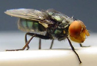 Sterile insect technique - The screw-worm fly was the first pest successfully eliminated from an area through the sterile insect technique, by the use of an integrated area-wide approach.
