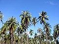 Coconut tree beside Highway - panoramio.jpg