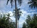 Coconut tree climbing DSCN0363.jpg