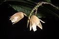 Coelogyne monilirachis (Kinabalu Borneo) Carr, Gard. Bull. Straits Settlem. 8- 206 (1935) (35663530981).jpg