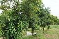Cola nitida tree.JPG