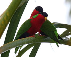 Collared Lories taveuni june2008.JPG